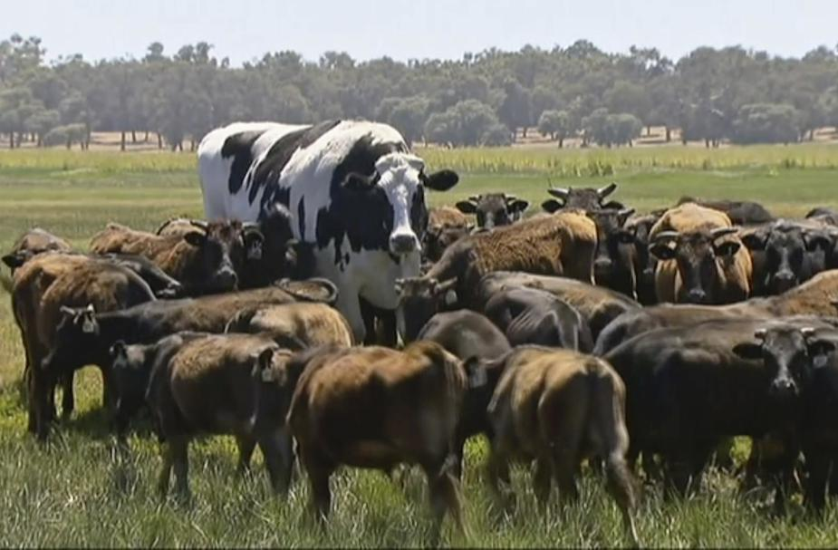 Niente mattatoio per Knickers, il manzo gigante